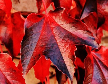 nature, feuille rouge, automne, plante, arbre, feuillage