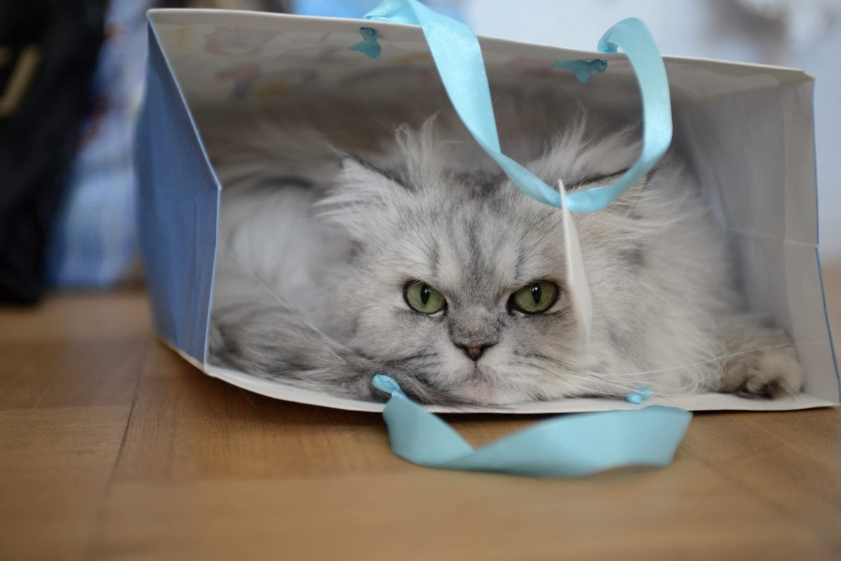 περσική γάτα, γατάκι, γατούλα, αιλουροειδών, γούνα, των ζώων