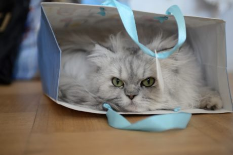 persian cat, kitten, kitty, feline, fur, animal