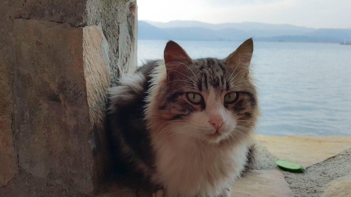 domestic cat, sea, kitten, kitty, feline, animal, fur, cute, whiskers, eyes