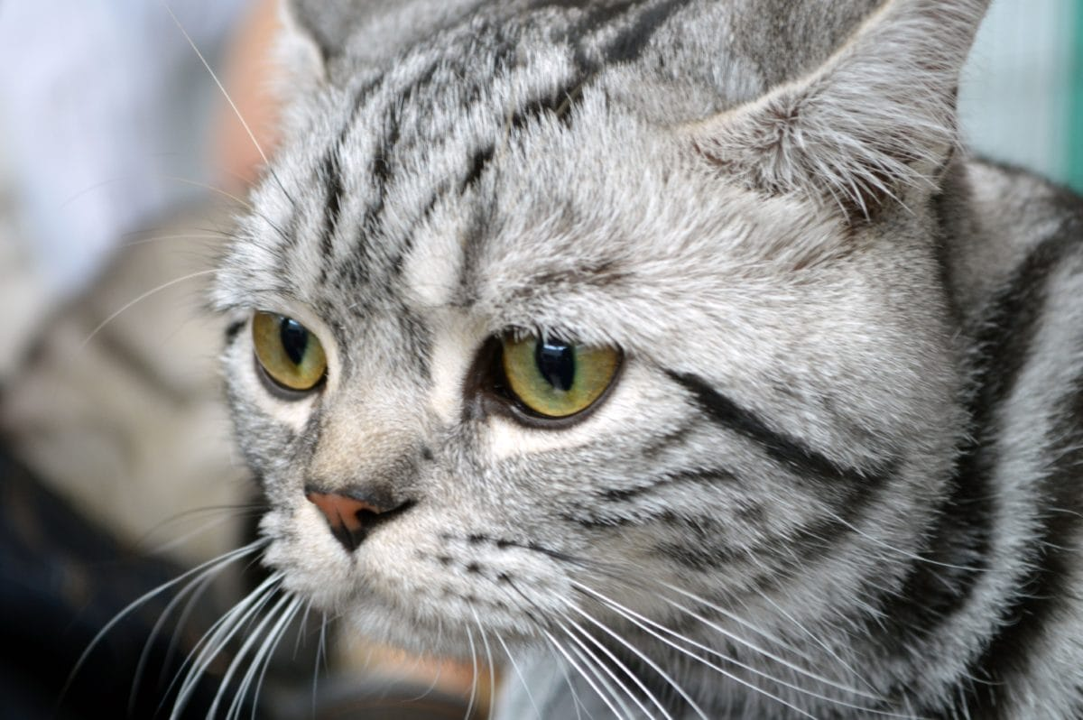 kitten, fur, animal, cute, portrait, grey cat, feline, kitty, whiskers