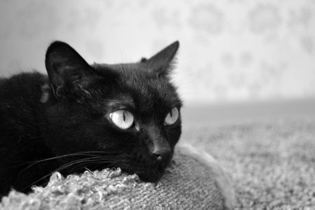 chat noir, oeil, animal, portrait, mignon, monochrome, minou, chaton, félin, fourrure