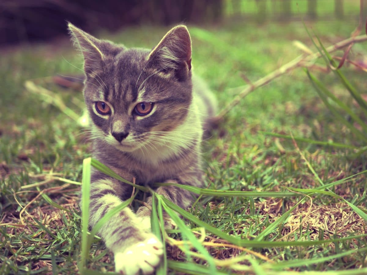 animal, nature, kitten, domestic cat, cute, feline, grass, young, kitty, fur
