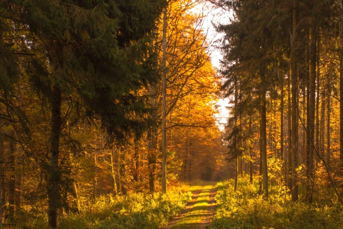 wood, tree, leaf, dawn, forest trail, landscape, fog, poplar, autumn