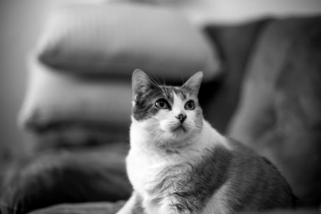 kitten, domestic cat, monochrome, portrait, cute, eye, feline, animal, kitty, fur