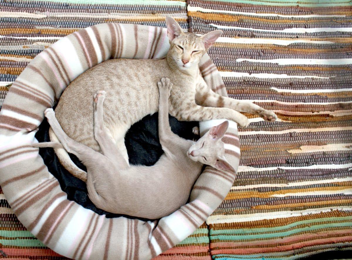 domestic cat, interior, colorful, animal, blanket
