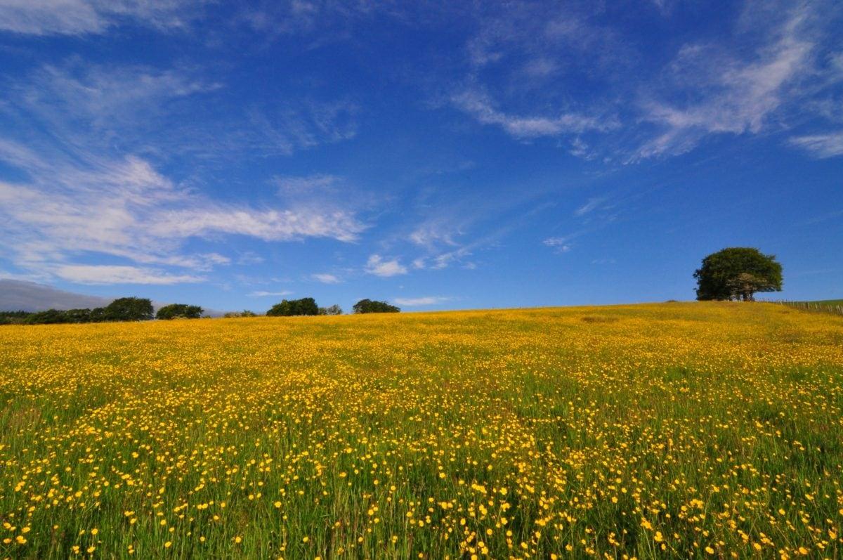 пейзаж, поле, рапица, билка, растение, синьо небе, ливада, земя