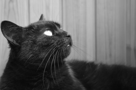 black cat, portrait, animal, monochrome, kitty, feline, kitten, fur, whiskers