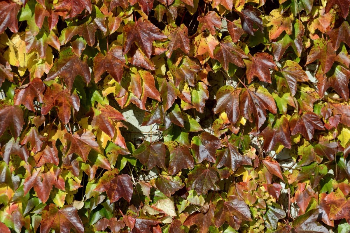 ivy, texture, tree, brown leaf, pattern, nature, plant, autumn