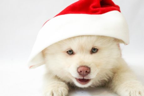 christmas, hat, animal, fur, cute, dog, adorable, photo studio