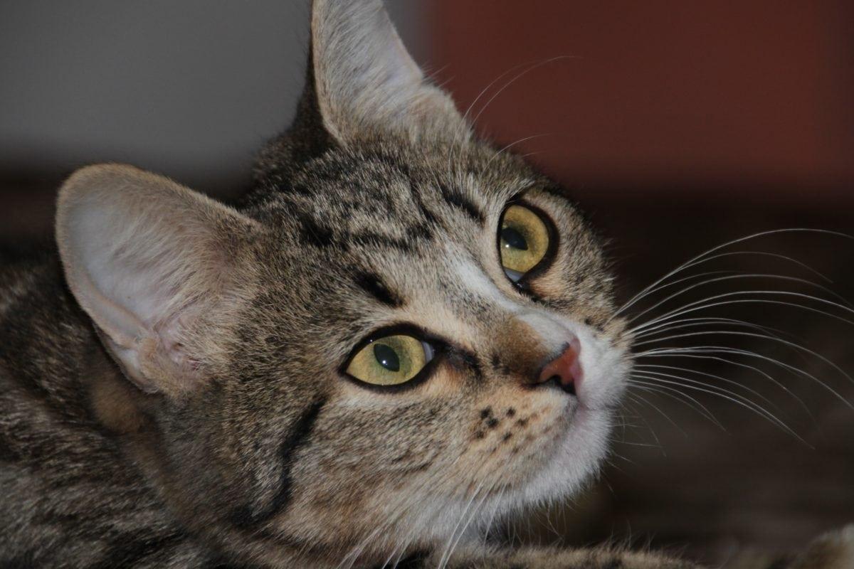 portrait, eye, kitten, fur, animal, domestic cat, cute, zoology, young, feline
