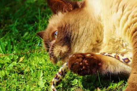 animal, piel, gato, naturaleza, lindo, hierba, felino, fauna