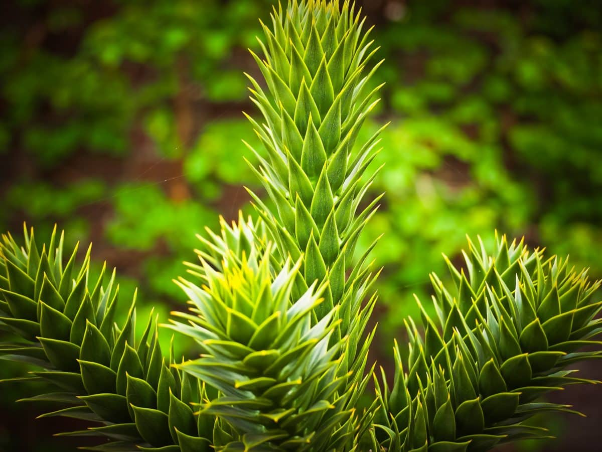 nature, feuille, arbre de pin, plante, ombre
