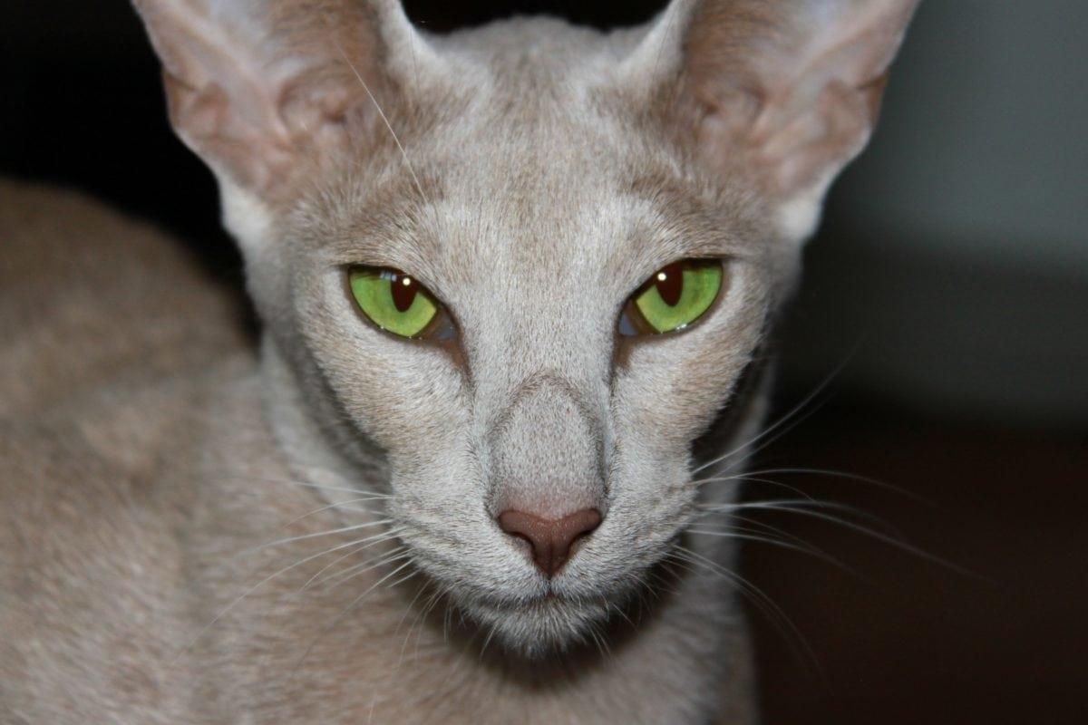 fur, cat, animal, cute, eye, portrait, pedigree, feline, kitty, kitten