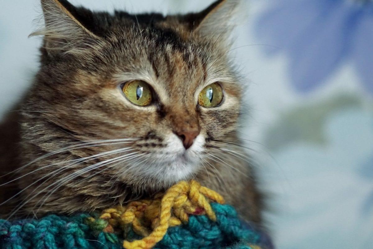 domestic cat, portrait, cute, feline, kitten, kitty, fur, whiskers