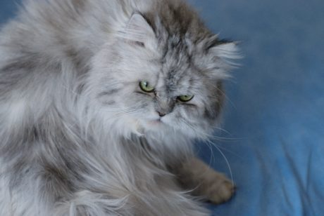 Persian cat, animal, kitten, grey cat, cute, fur, portrait, feline, kitty, whiskers