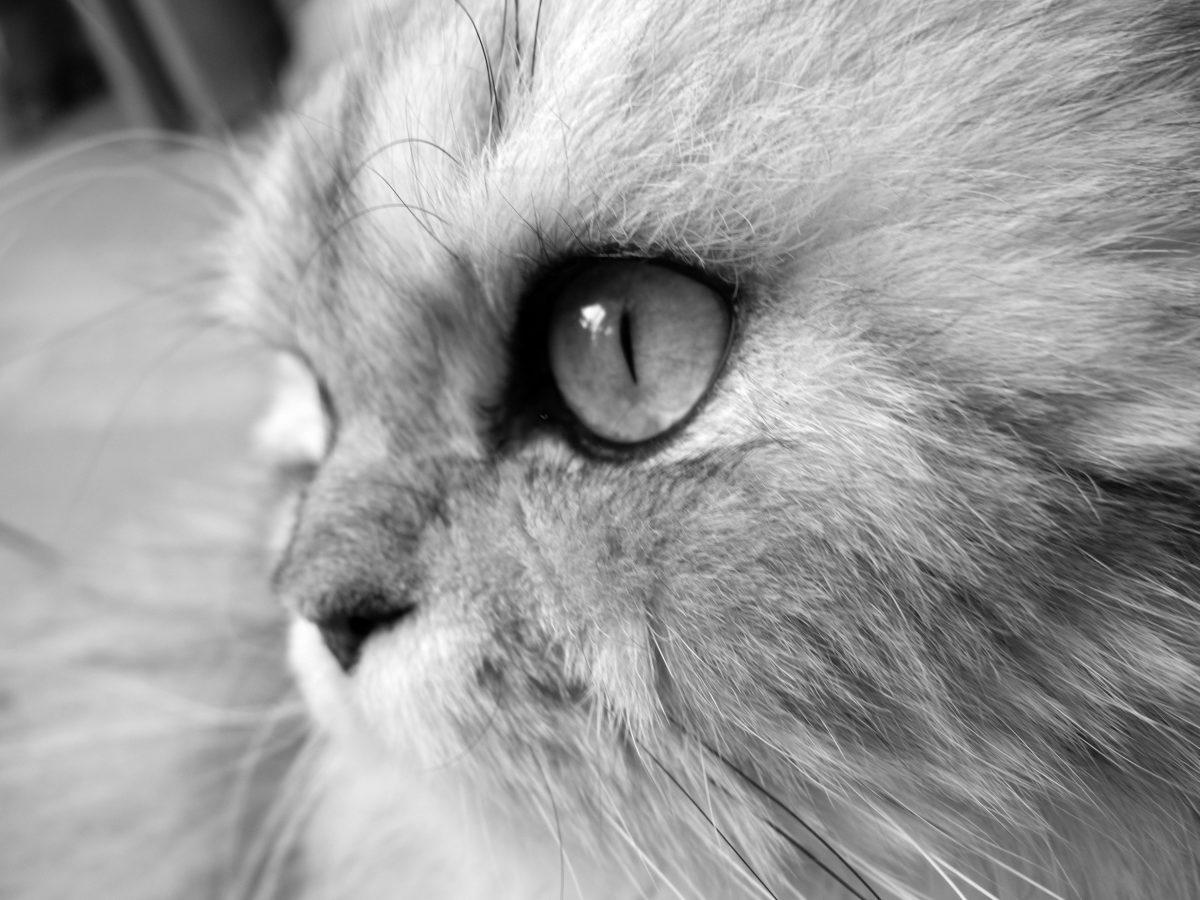cat, fur, monochrome, cute, portrait, eye, kitten, animal, feline, kitty