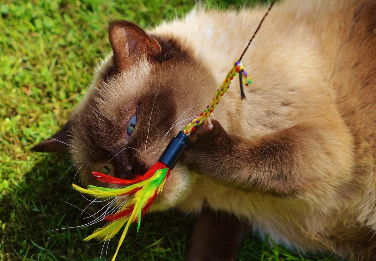 portrait, cute, leash,Persian cat, harness, fur, feline, animal