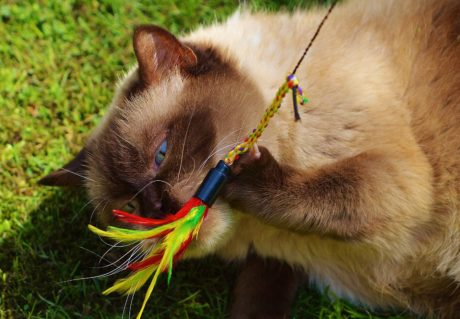 portrait, cute, leash,Persian cat, harness, fur, feline, animal