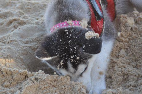 natura, guinzaglio per cani, animale, sabbia, luce diurna, pedigree