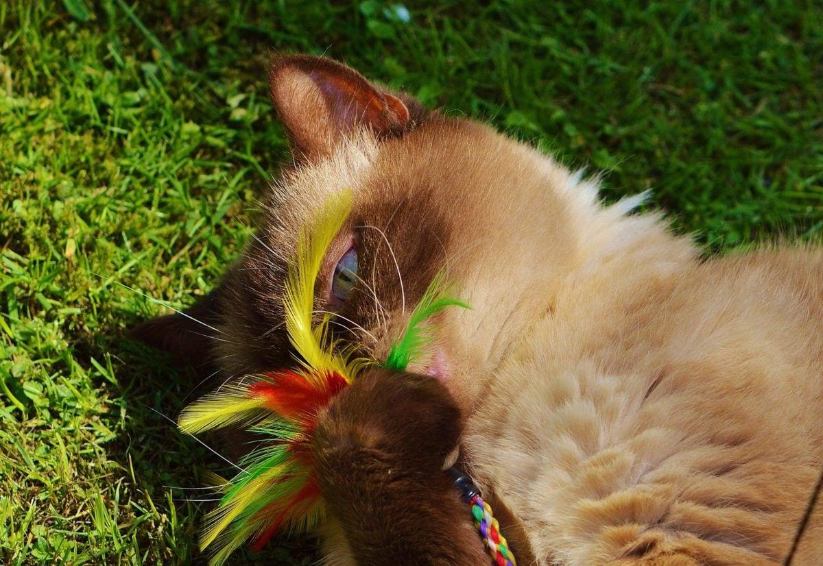green grass, animal, cute, nature, brown cat, kitten, kitty, feline, fur