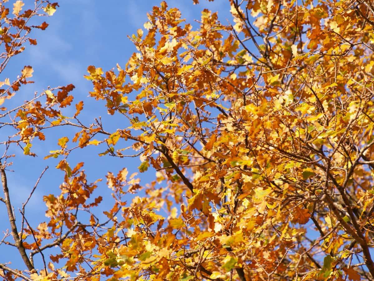 leaf, nature, branch, tree, poplar, plant, autumn, blue sky, forest