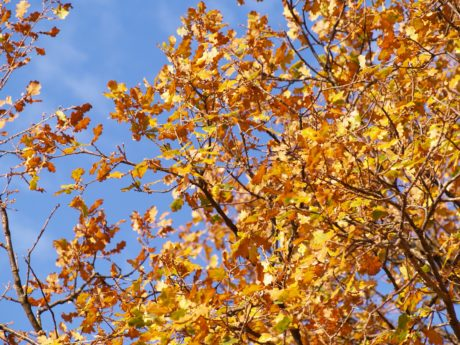 leaf, nature, branch, tree, poplar, plant, autumn, blue sky, forest