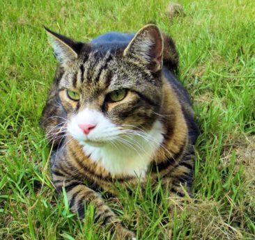 chat domestique, mignon, portrait, oeil, chaton, fourrure, moustache, nature, animal