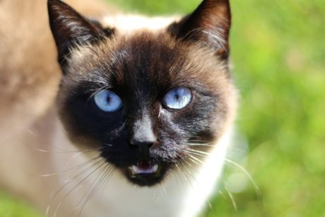 Siamese cat, cute, eye, fur, animal, portrait, feline, kitten, eyes