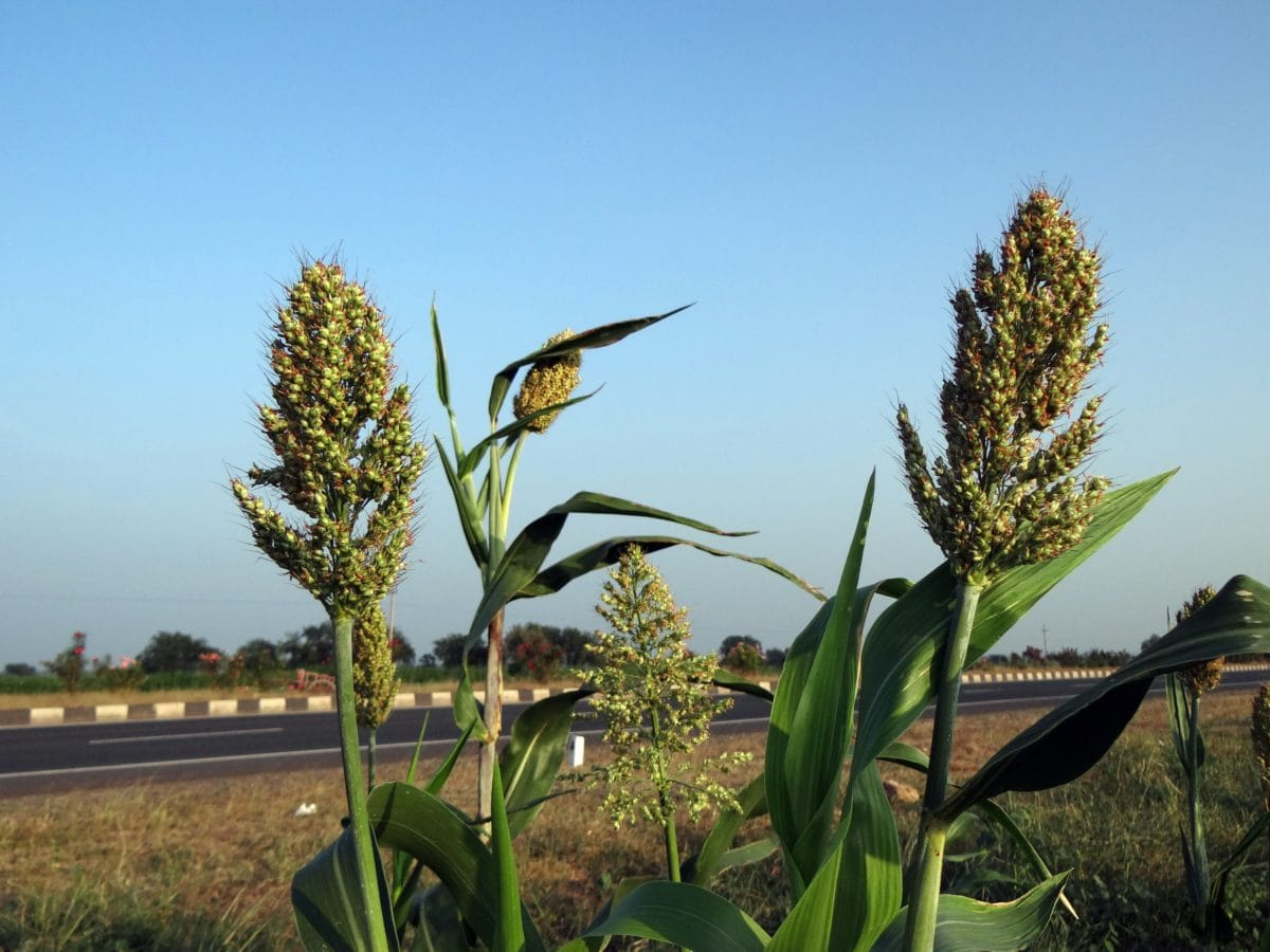 nature, blue sky, corn field, plant, field, summer, agriculture