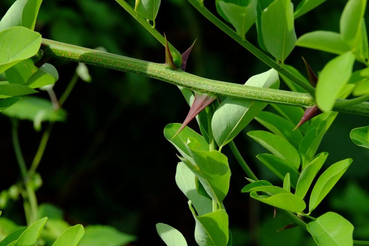 green leaf, thorn, spike, nature, garden, ecology, herb, branch, outdoor