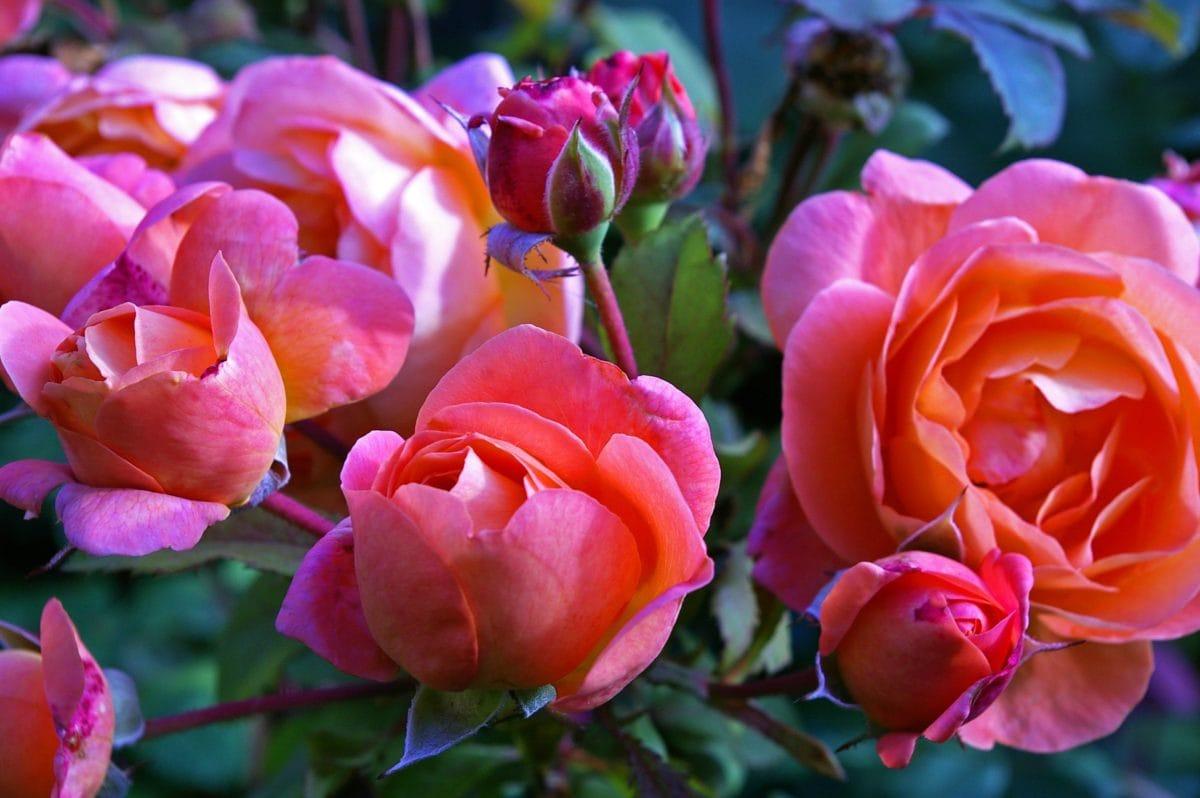 red rose, flower bud, nature, garden, leaf, petal, daylight, pink, blossom