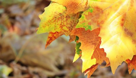 nature, dry leaf, autumn, oak tree, forest, plant