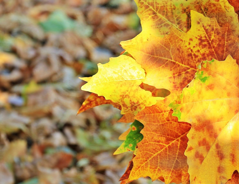 nature, dry leaf, oak, autumn, tree, forest, foliage, plant