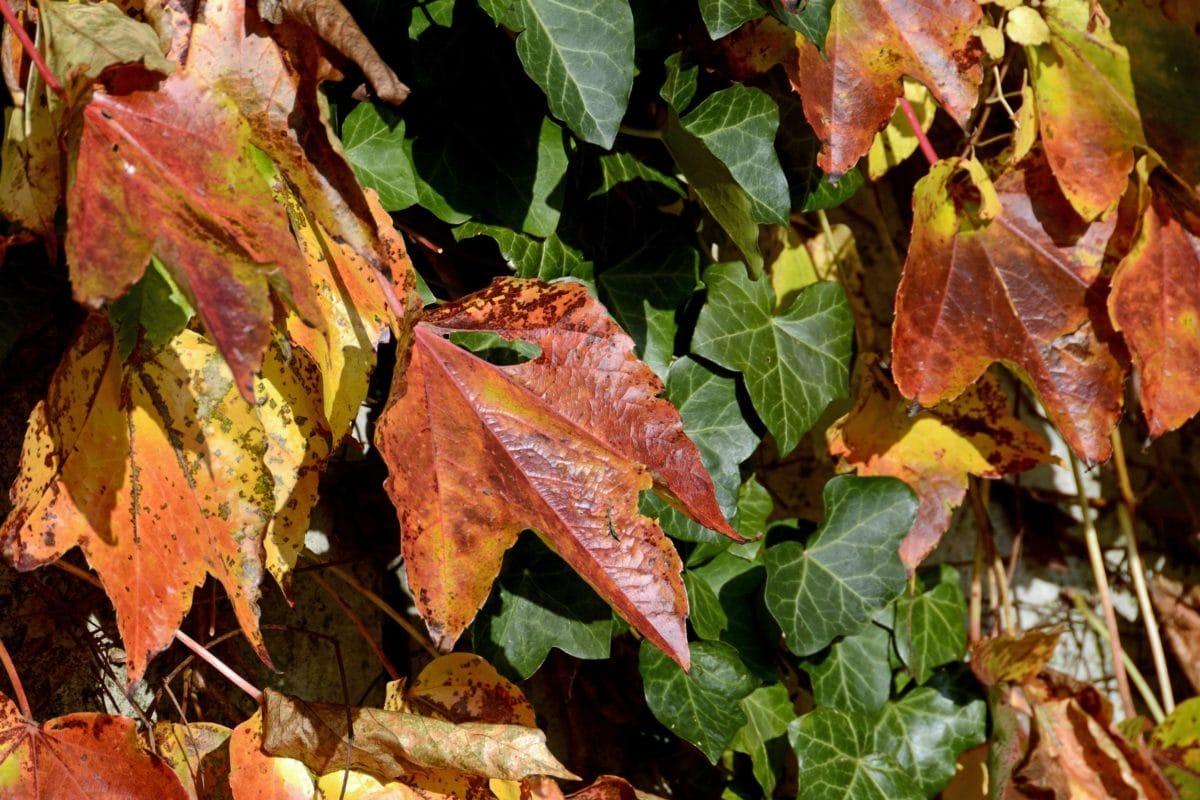 ivy leaf, nature, autumn, herb, branch, shrub, foliage, colorful