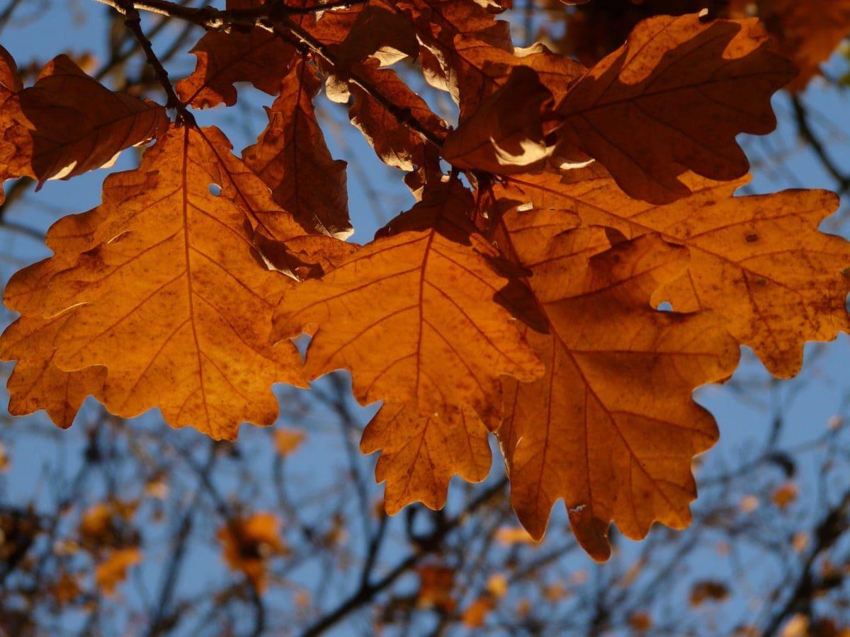 tree, nature, brown leaf, autumn, foliage, forest, branch, autumn season