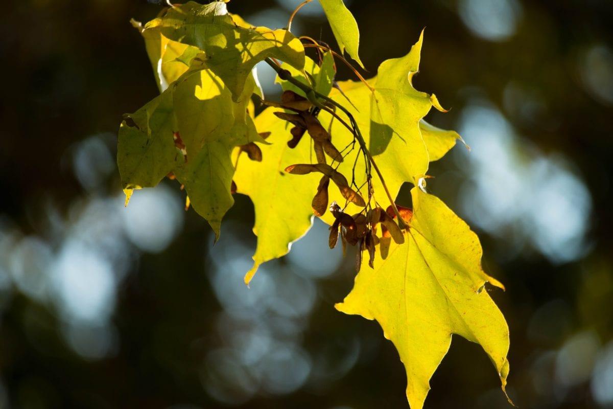 priroda, zeleni list, stablo, biljka, jesen, šuma, lišće, grana