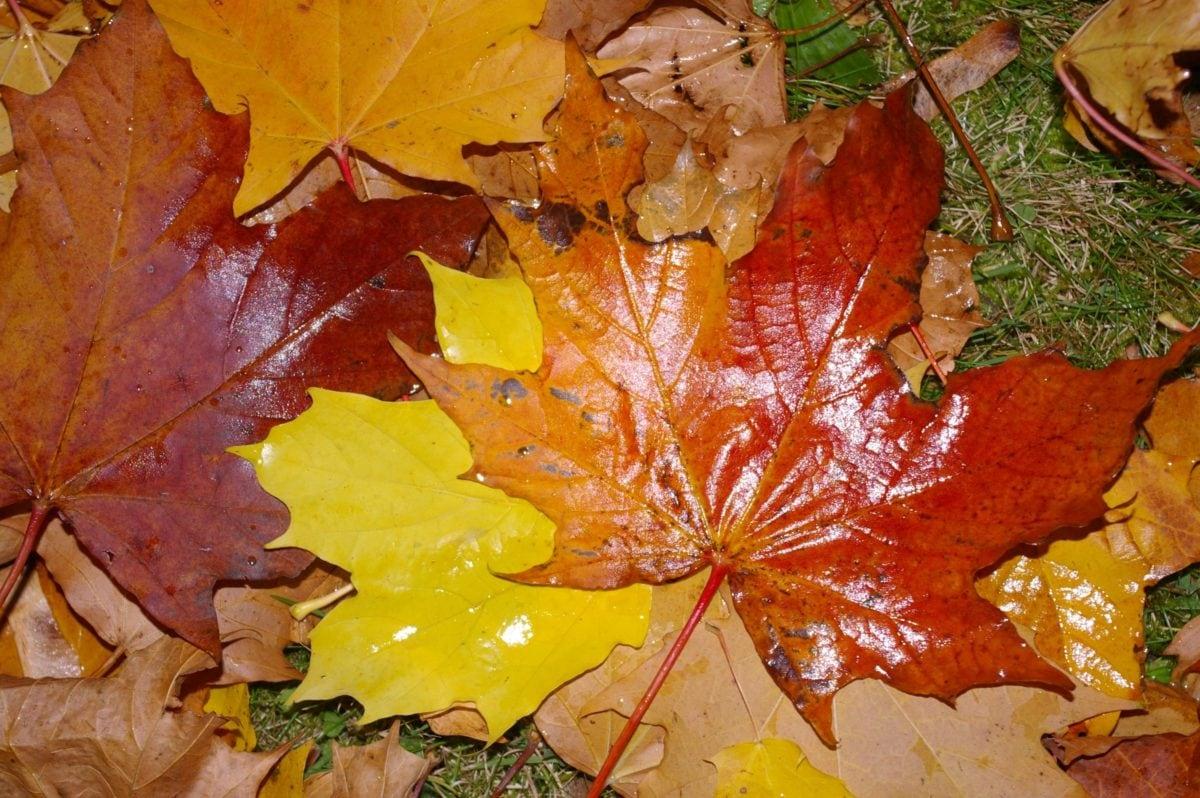 мокрый лист, дерево, осень, дуб лист, лес, листва