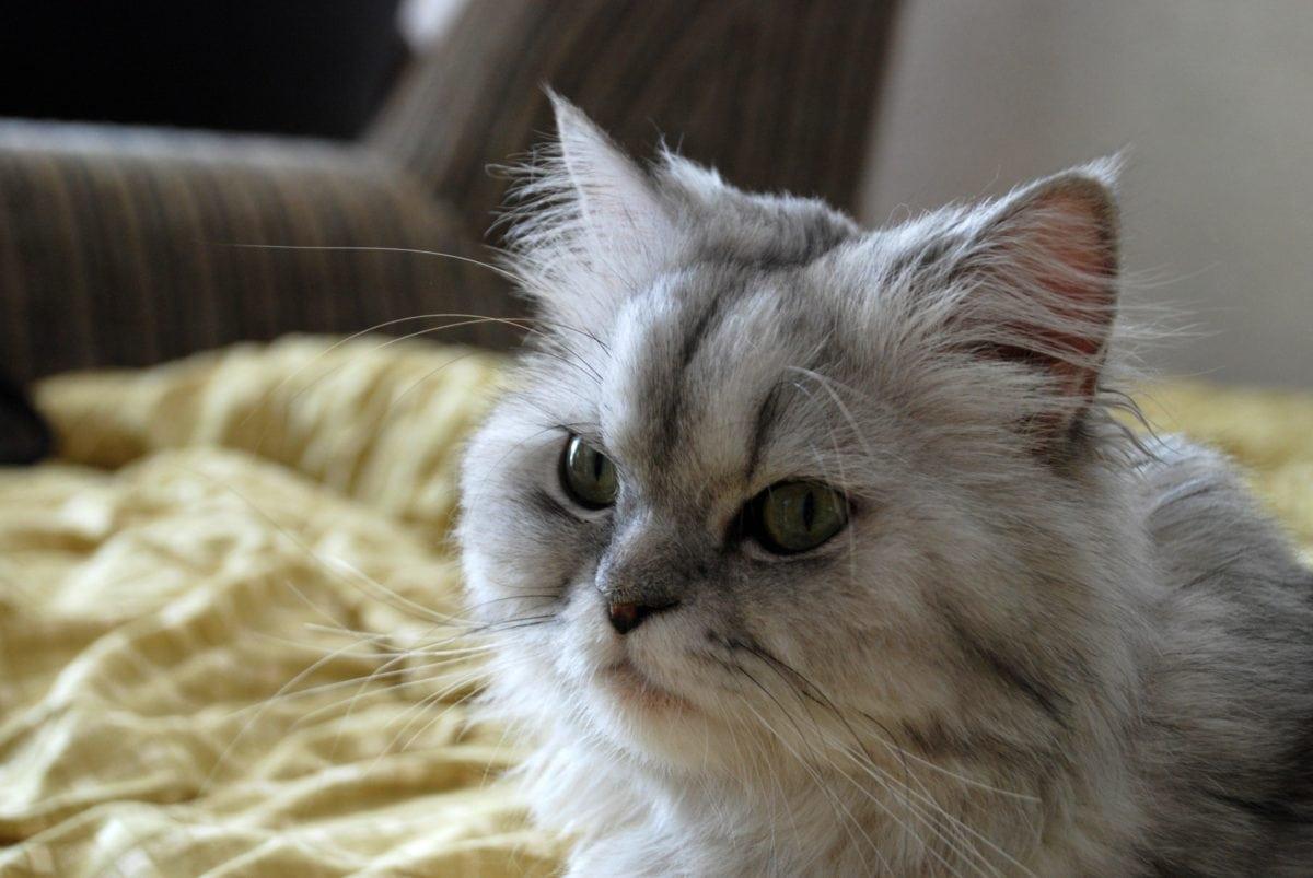 animal, cute, Persian cat, kitten, indoor, kitty, fur, whiskers, eyes