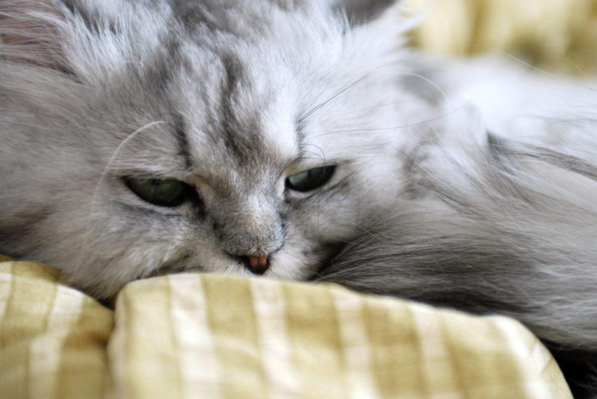 Grey Kitten, persisk katt, øye, dyr, portrett, søt, pels, feline