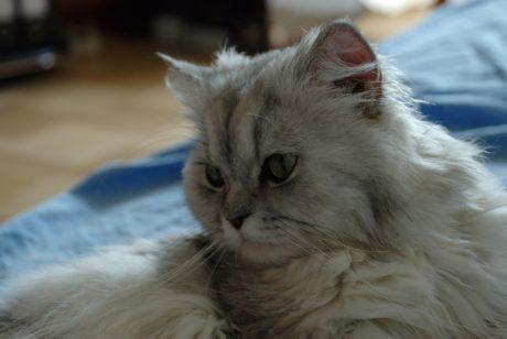 bonitinho, retrato, animal, pele, gato persa, interior, gatinho, vaquinha, bigodes