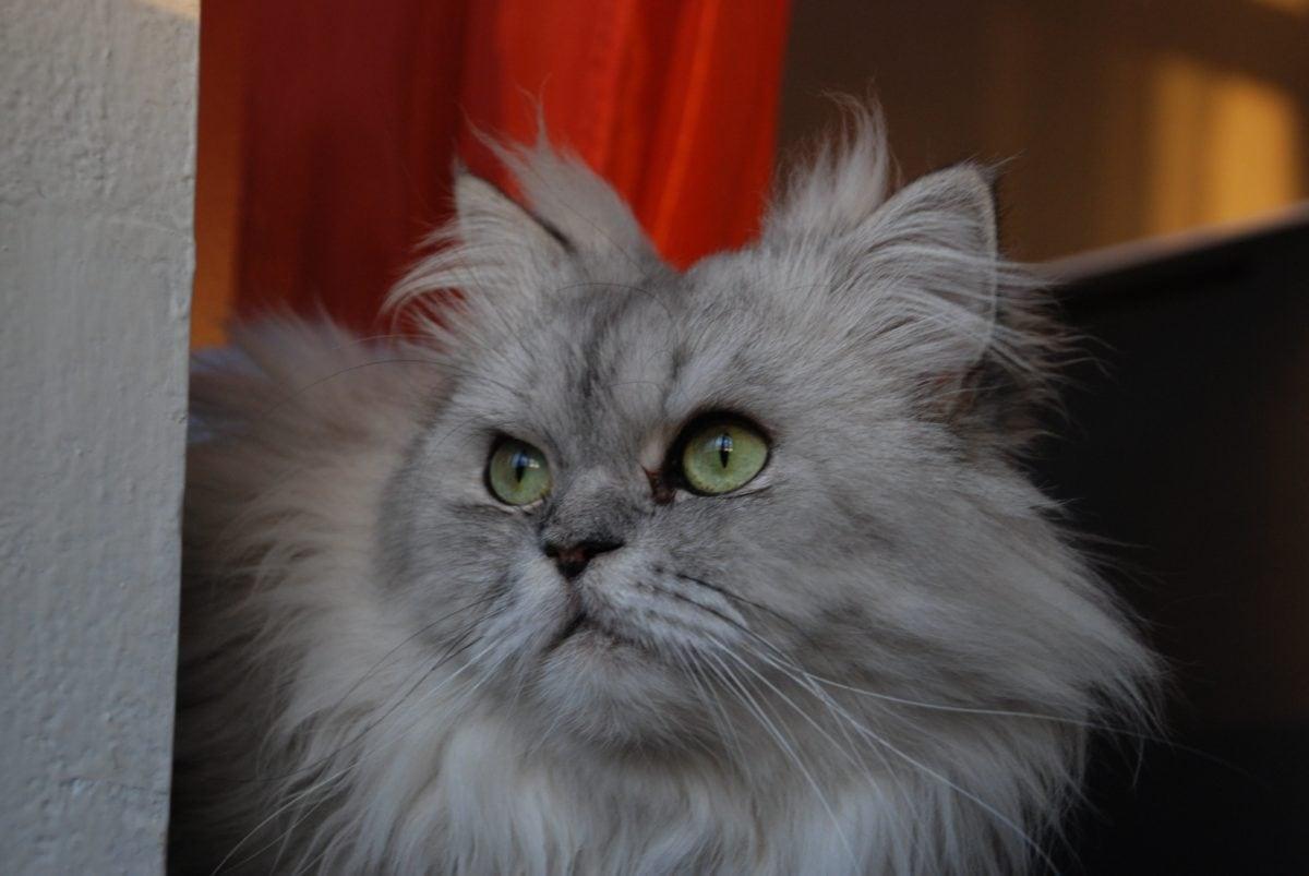 животно, портрет, коте, персийски котка, котешки, кожа, сянка, мустаци