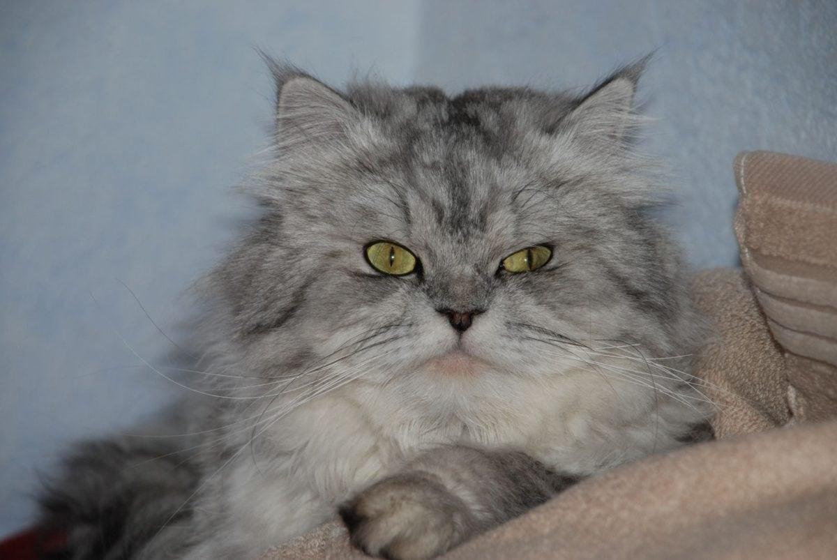 Persian cat, kitten, portrait, indoor, fur, kitty, whiskers