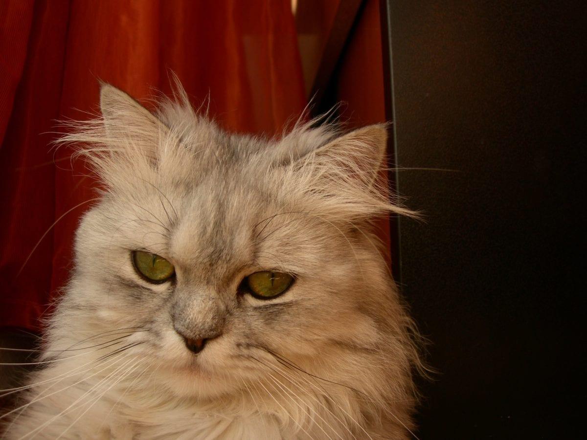 grey kitten, cute, animal, Persian cat, portrait, eye, indoor