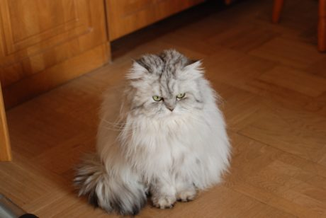 Persian cat, floor, parquet, kitten, cute, whiskers