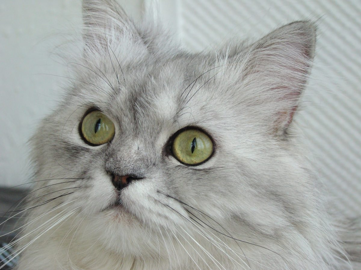 cute, Persian cat, animal, eye, grey kitten, portrait, feline