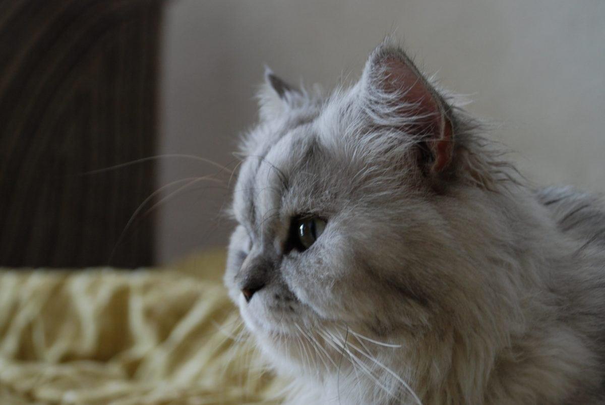 Tier, Porträt, niedlich, persische Katze, Katze, Kätzchen, Fell, graues Kätzchen, Schnurrbart