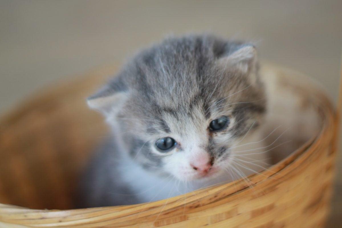 young cat, cute, kitten, wicker basket, animal, feline, domestic kitty, fur, whiskers