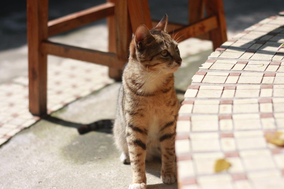 porträtt, kattunge, inhemska katt, trottoar, djur, möbler, päls, morrhår