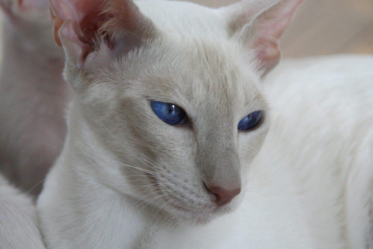 portret, bijela mačka, slatka, životinja, plave oči, mače, krzno